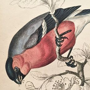 BULLFINCH COMMON Engraving Naturalist Library Jardine Antique