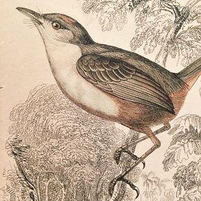 TODY RUFOUS CROWNED Engraving Naturalist Library Jardine Antique Print