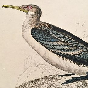 CORMORANT LONG TAILED Engraving Naturalist Library Jardine Antique