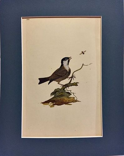 TITMOUSE MARSH Engraving Natural History British Birds Edward Donovan
