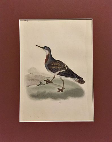 PHALAROPE LOBATE Engraving Natural History British Bird Edward Donovan