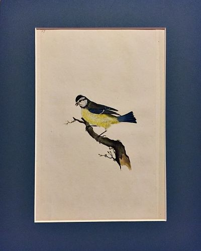 TITMOUSE BLUE Engraving Natural History British Birds Edward Donovan