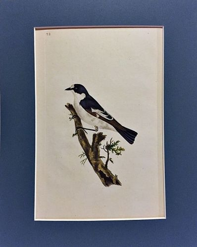 FLYCATCHER PIED Engraving Natural History British Birds Edward Donovan