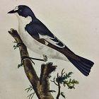 FLYCATCHER PIED Engraving Natural History British Birds Edward Donovan