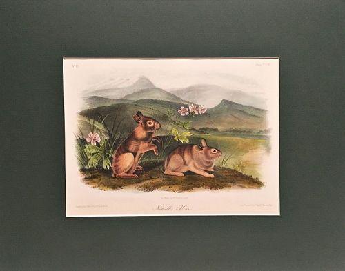 HARE NUTALLS Lithograph John Audubon Quadruped Royal Octavo Antique