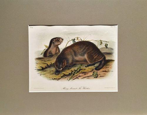 WHISTLER HOARY MARMOT Lithograph John Audubon Quadruped Royal Octavo