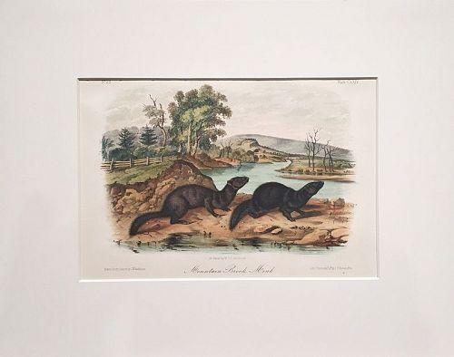 MINK MOUNTAIN BROOK Lithograph John Audubon Quadruped Royal Octavo