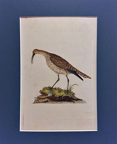 WHIMBREL Engraving Natural History British Birds Edward Donovan