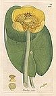 LILY WATER YELLOW James Sowerby English Botany 1794 Britain