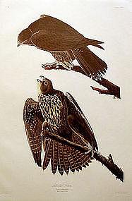 FALCON LABRADOR John Audubon Birds America Amsterdam 1972 New York