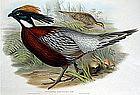 PHEASANT KAFIRISTAN PUCRAS John Gould Birds Asia