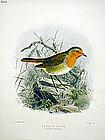 ROBIN PERSIAN RED BREAST Henry Dresser Birds Europe 1895 London