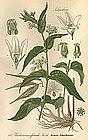 SWALLOWWART WHITE Professor Thome Flora von Deutschland 1905 Germany