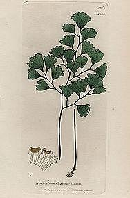 MAIDENHAIR TRUE James Sowerby English Botany 1806 Britain
