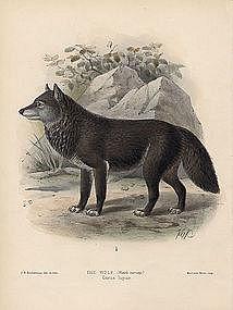 WOLF Monograph Canidae Mivart Keulemans 1890 London