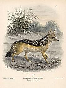 JACKAL BLACK BACKED Monograph Canidae Mivart Keulemans 1890 London