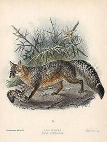 COLISHE FOX VIRGINIAN Monograph Canidae Mivart Keulemans 1890 London