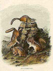 SQUIRRELS CHIPPING John Audubon Quadruped Royal Octavo 1854 New York