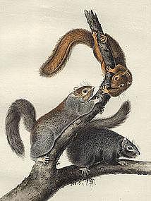 SQUIRREL CAT John Audubon Quadruped Royal Octavo New York