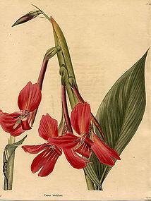 IRIS PERUVIAN CANNA Loddiges Cooke Botanical Cabinet 1824 London