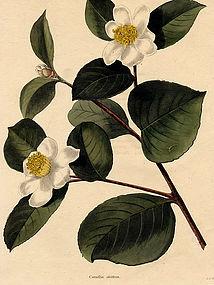 TEA OIL SEED CAMELLIA Loddiges Cooke Botanical Cabinet 1825 London