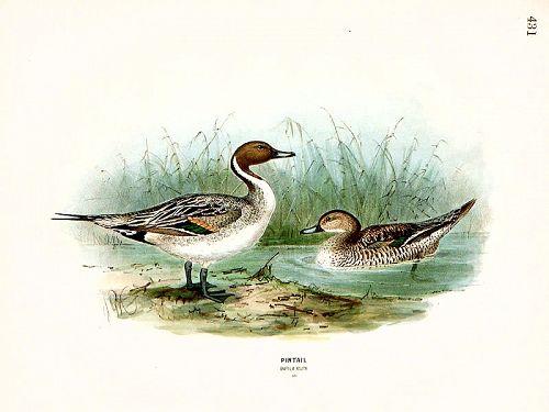 PINTAIL MALE FEMALE Henry Dresser Keulemans Birds Europe 1873 London