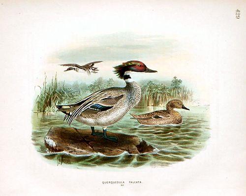TEAL FALCATED Henry Dresser Keulemans Birds Europe 1871 London