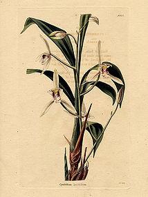 ORCHID LANCE LEAVED CYMBIDIUM Loddiges Botanical Cabinet 1824 London