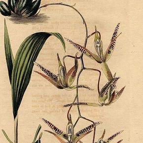 ORCHID PENDULOUS CYMBIDIUM Loddiges Botanical Cabinet 1824 London