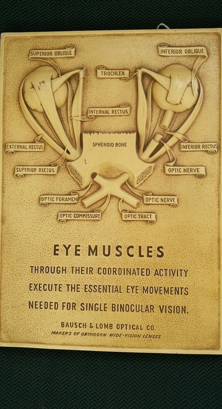 C1950 Bausch & Lomb Eye Muscles Anatomy Medical Teaching Display