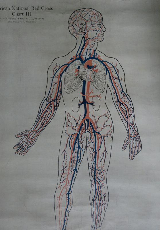 Wonderful 1910 Set of 3 Anatomical Charts Skeleton Muscles Circulation
