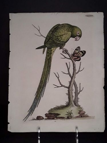 George Edwards copper plate engraving with original hand color Parrot